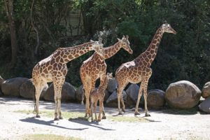 Amelia the Baby Giraffe and her family hang out at the Riverbanks Zoo in Columbia, SC