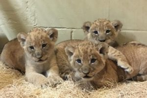 Baby Lion Cubs at the Riverbanks Zoo, Columbia SC's Best Attraction