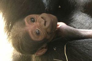 Gorilla Baby Zoo Animal Columbia SC