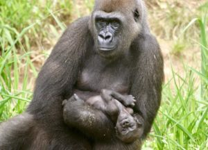 The first of two baby Lowland Gorillas was born in June of 2018 at Riverbanks Zoo!