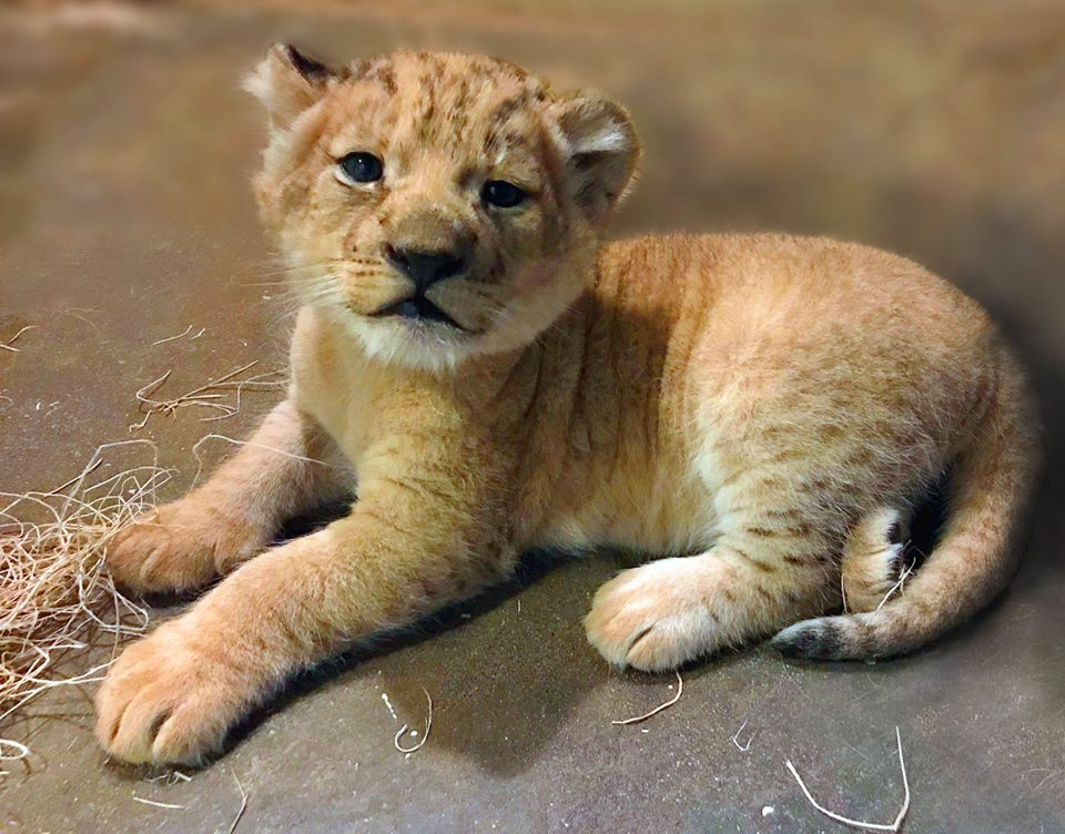 One of three lion cubs that are almost one year old, out on the exhibit with their mom and dad, Thabisa and Zuri in Columbia, South Carolina